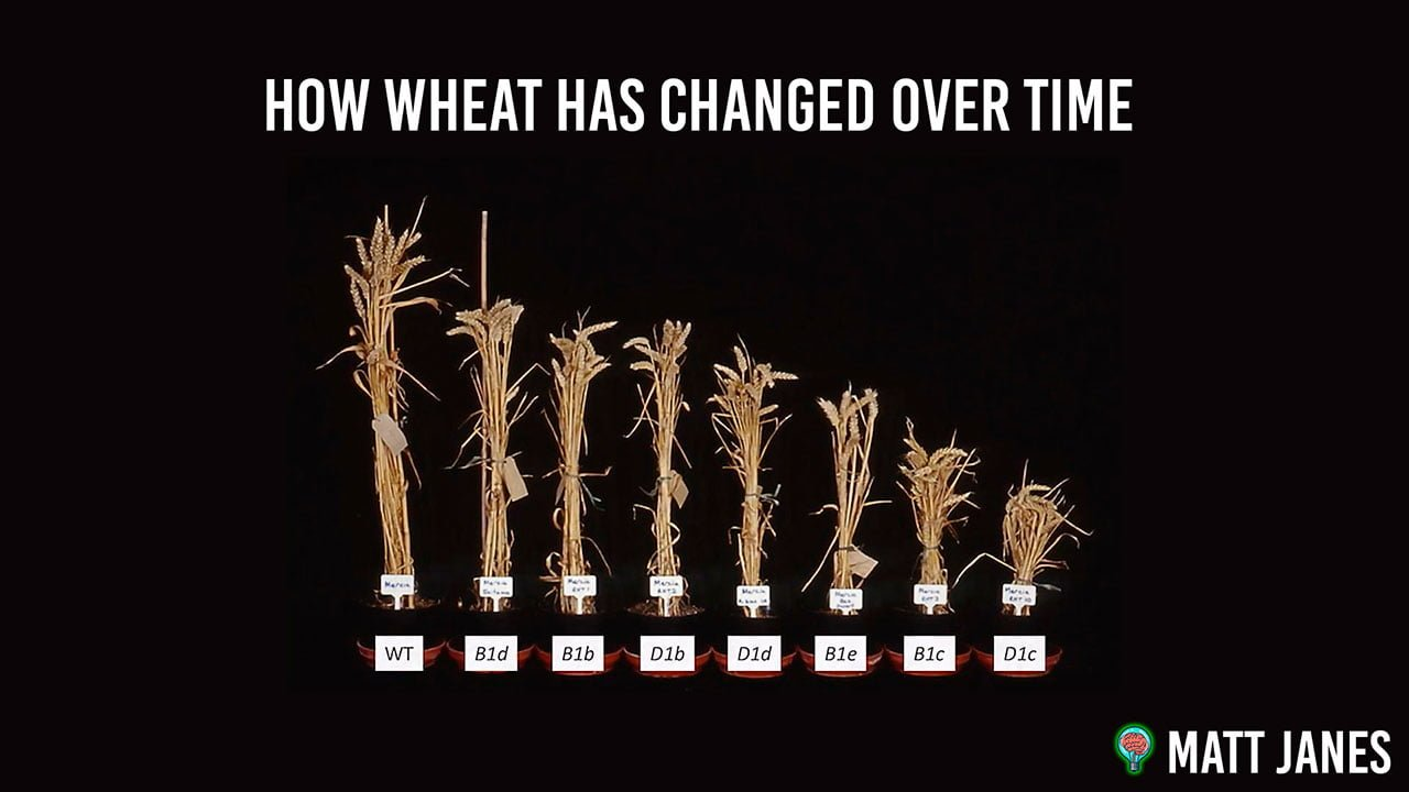how wheat has changed over time